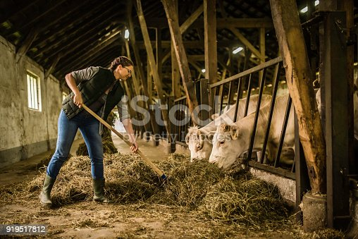 istock Herder feeding group of cows 919517812