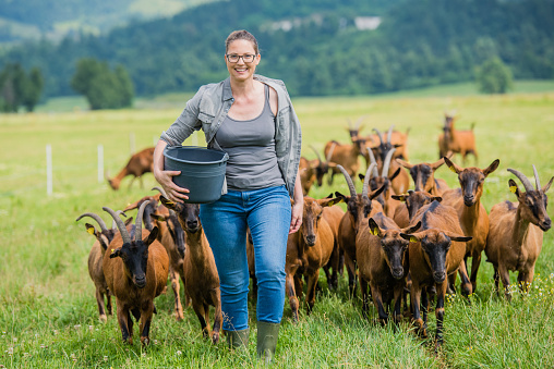 Herder walking with group of goats on grassy landscape.