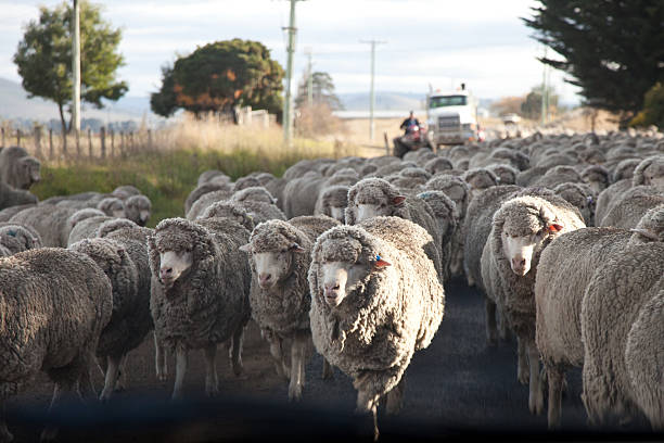 Herding a mob or flock of sheep stock photo
