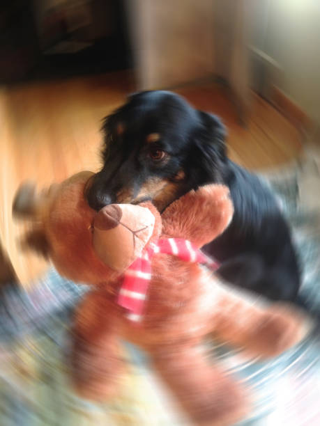 Herding Dog, Funny Puppy, Dog Toy, Happiness (1h2) stock photo