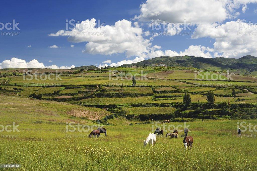 Herding in Peru royalty-free stock photo