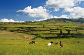 Herding in Peru. Some grazing horses in Landscape with farm in background