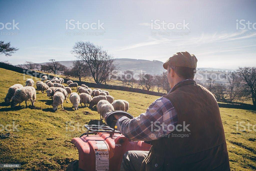 Herding Sheep stock photo