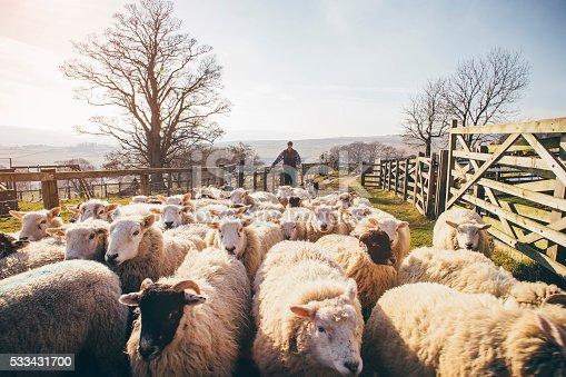 istock Herding Sheep 533431700