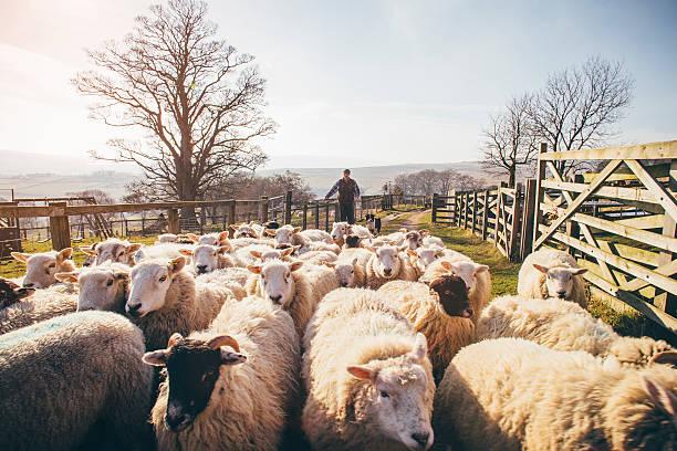 Mandria di pecore - foto stock