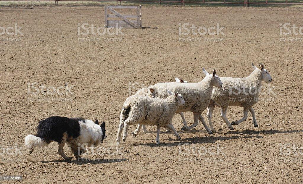 Herding Sheep royalty-free stock photo