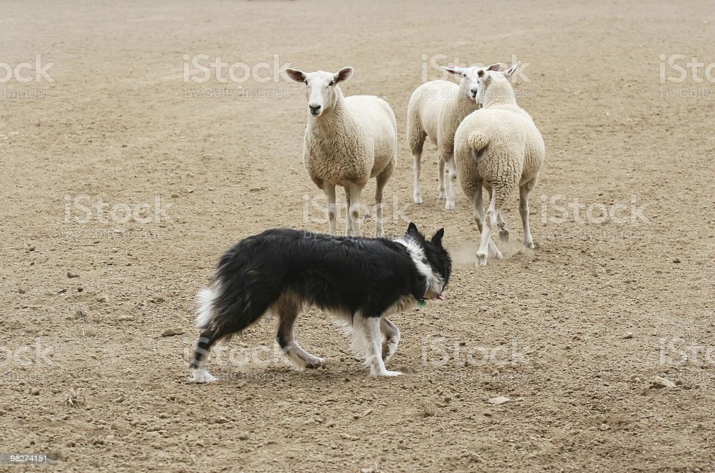 Herding the Sheep royalty-free stock photo