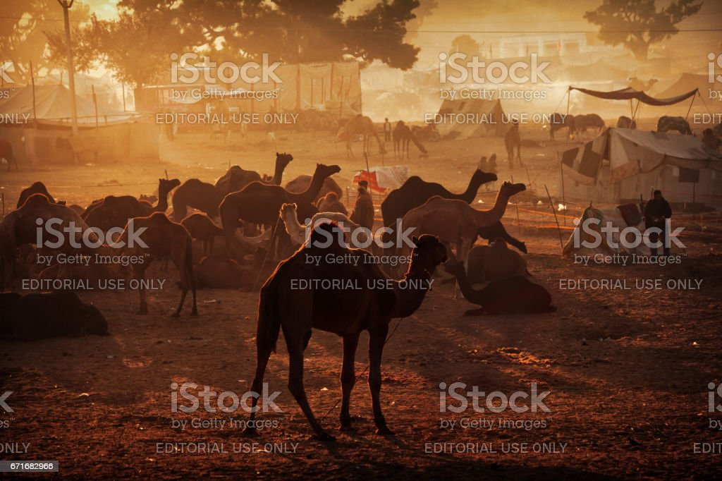 Pushkar, Rajasthan, India - November 26, 2012 : Herds of camels can...