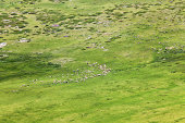 herds of sheep on a meadow in the mountains