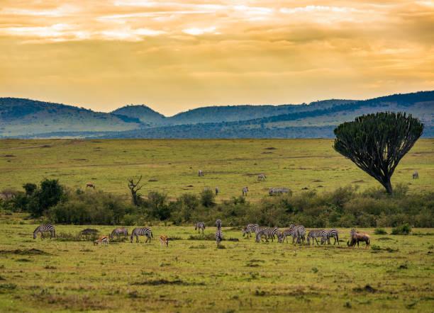 Herds of zebras in the Ngorongoro Crater, Tanzania stock photo