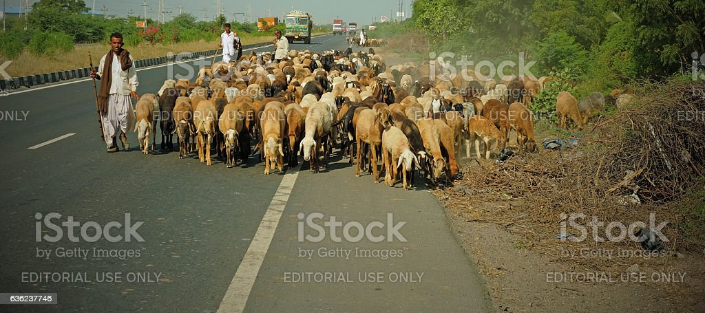 Herds on an Indian state highway stock photo