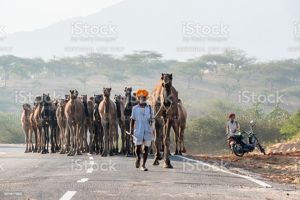 Herdsman leading camels walking along road, Pushkar, India stock photo