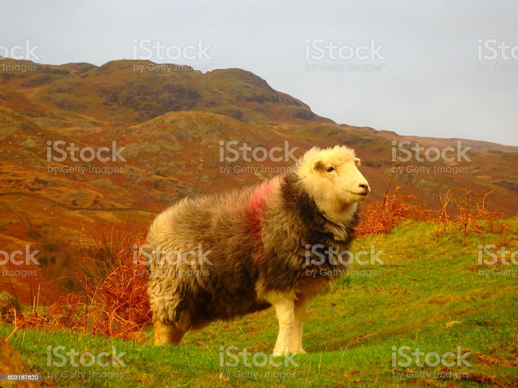 Herdwick Ewe Eskdale stock photo