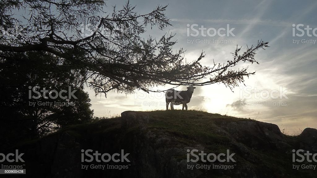 Herdwick Ewe & Eskdale Sunset stock photo