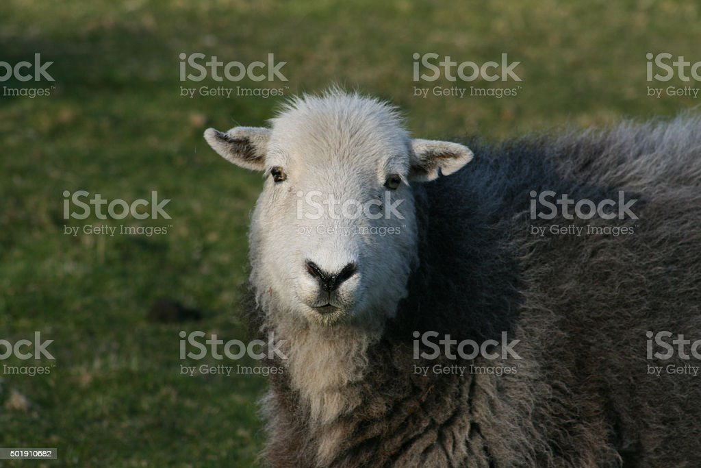 Herdwick Ewe Portrait from Eskdale stock photo