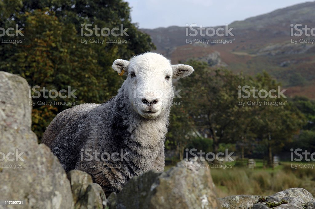 Herdwick stock photo