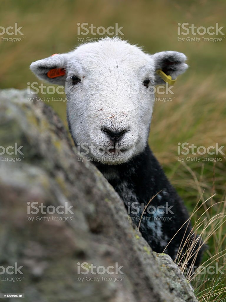 Herdwick Portrait stock photo
