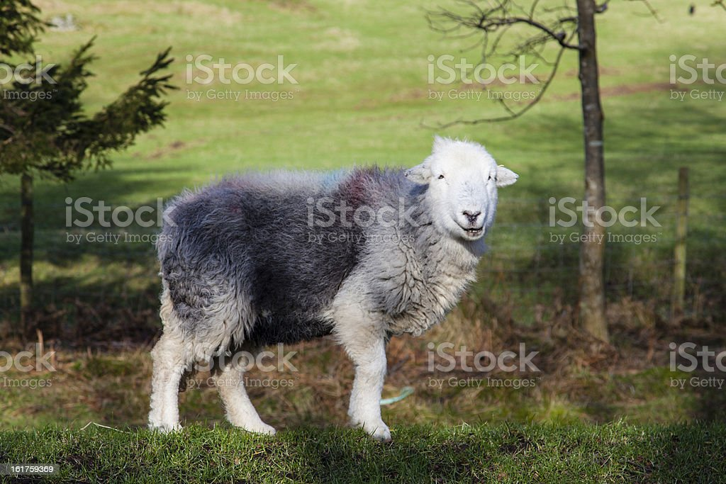 Herdwick Rare Breed SHeep stock photo