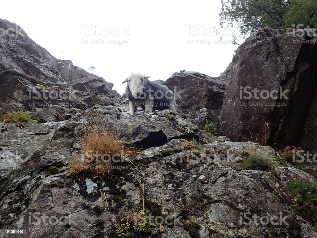 Herdwick Sheep Dungeon Ghyll stock photo