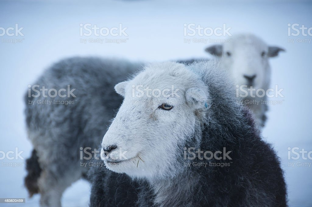 Herdwick Sheep, English Lake District stock photo