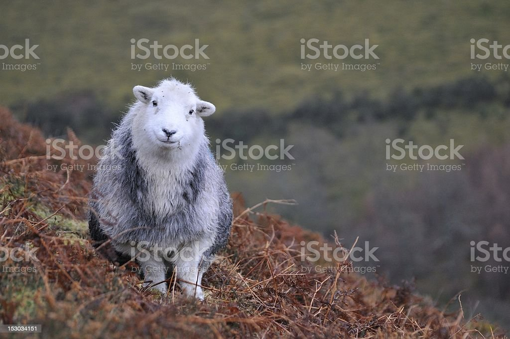 Herdwick sheep grazing stock photo