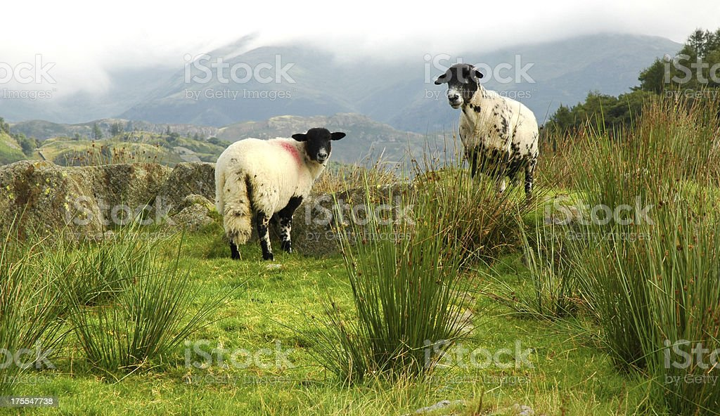 Herdwick Sheep in Langdale, Cumbria stock photo