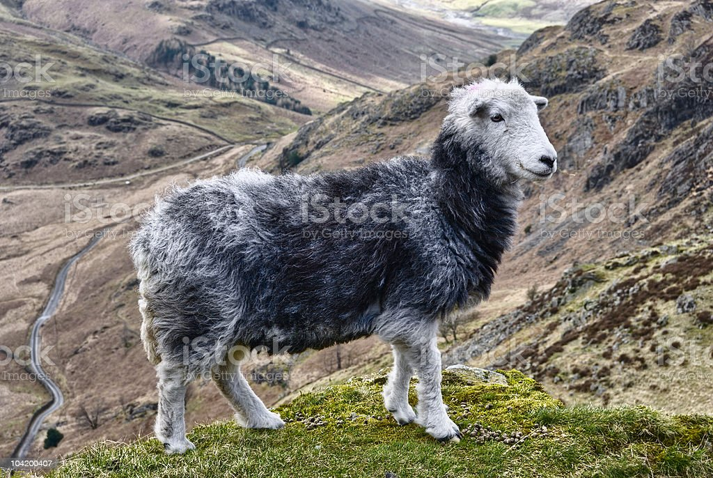 Herdwick sheep in mountains stock photo