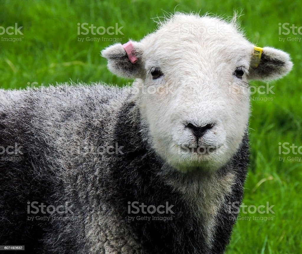 Herdwick sheep in the Lake District - farm animals stock photo