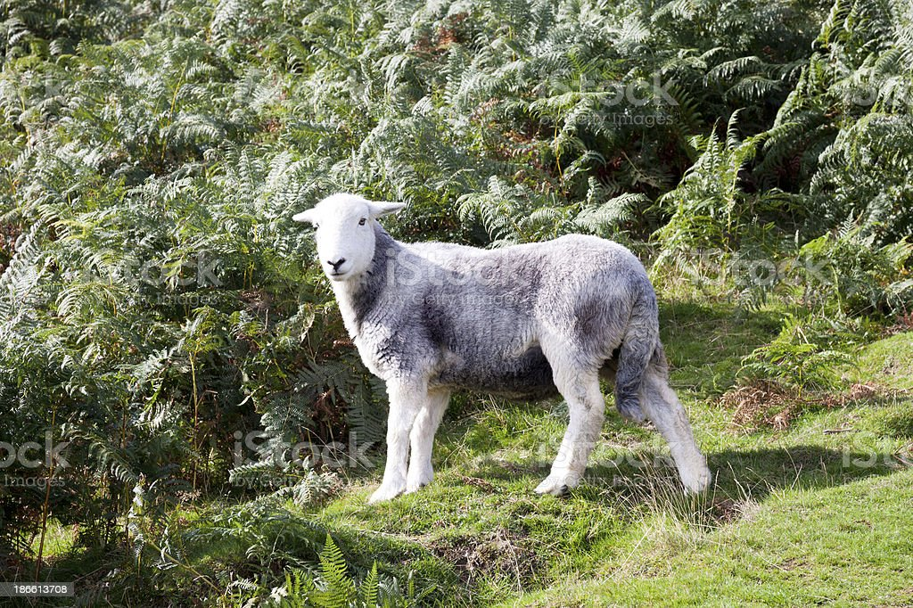 Herdwick Sheep in the Lake District royalty-free stock photo