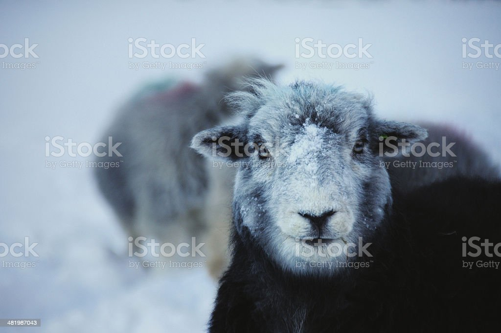 Herdwick sheep in winter, English Lake District stock photo