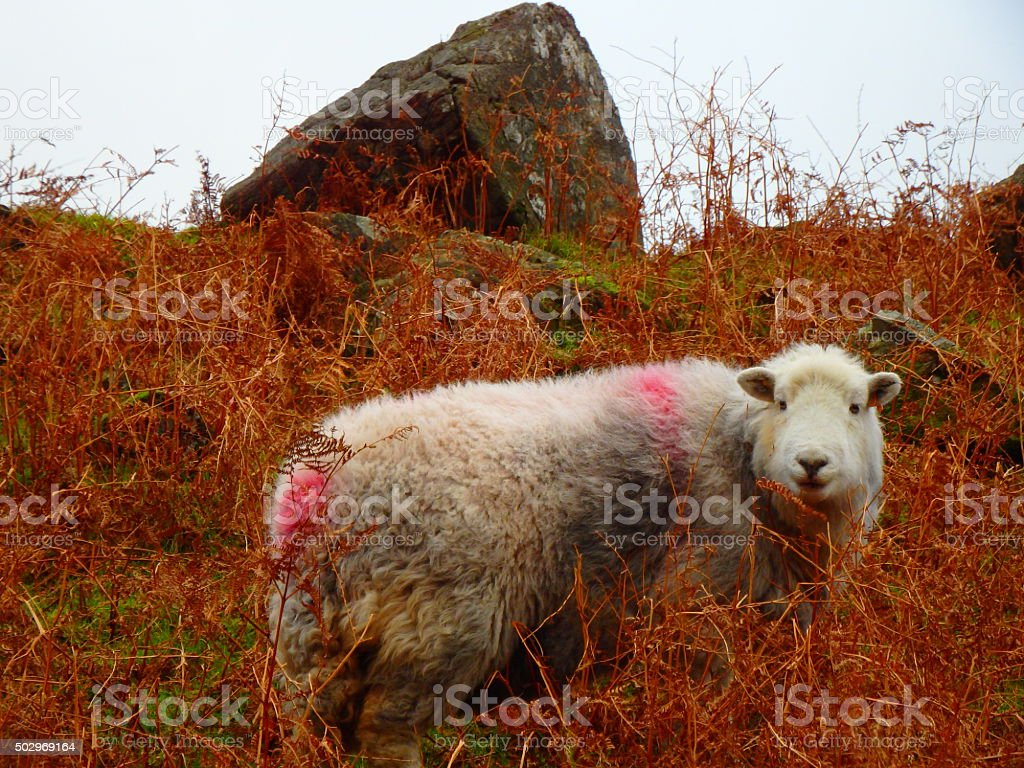 Herdwick Sheep Lake District Cumbria 2 stock photo