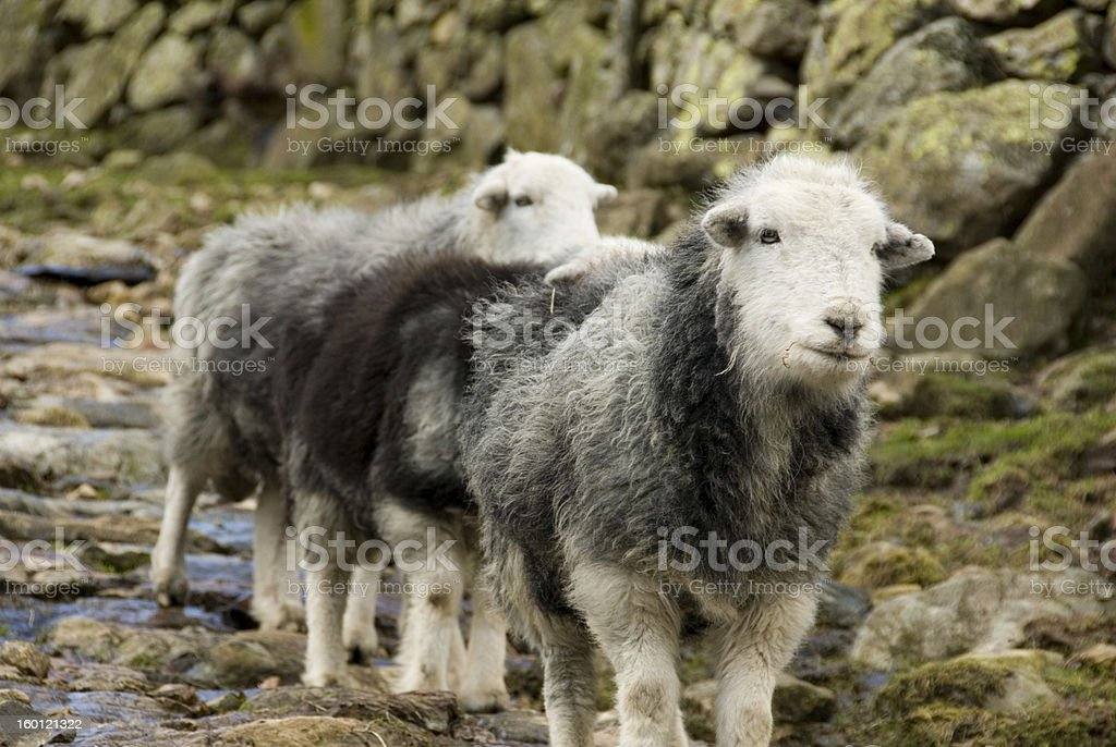 Herdwick Sheep, Lake District stock photo