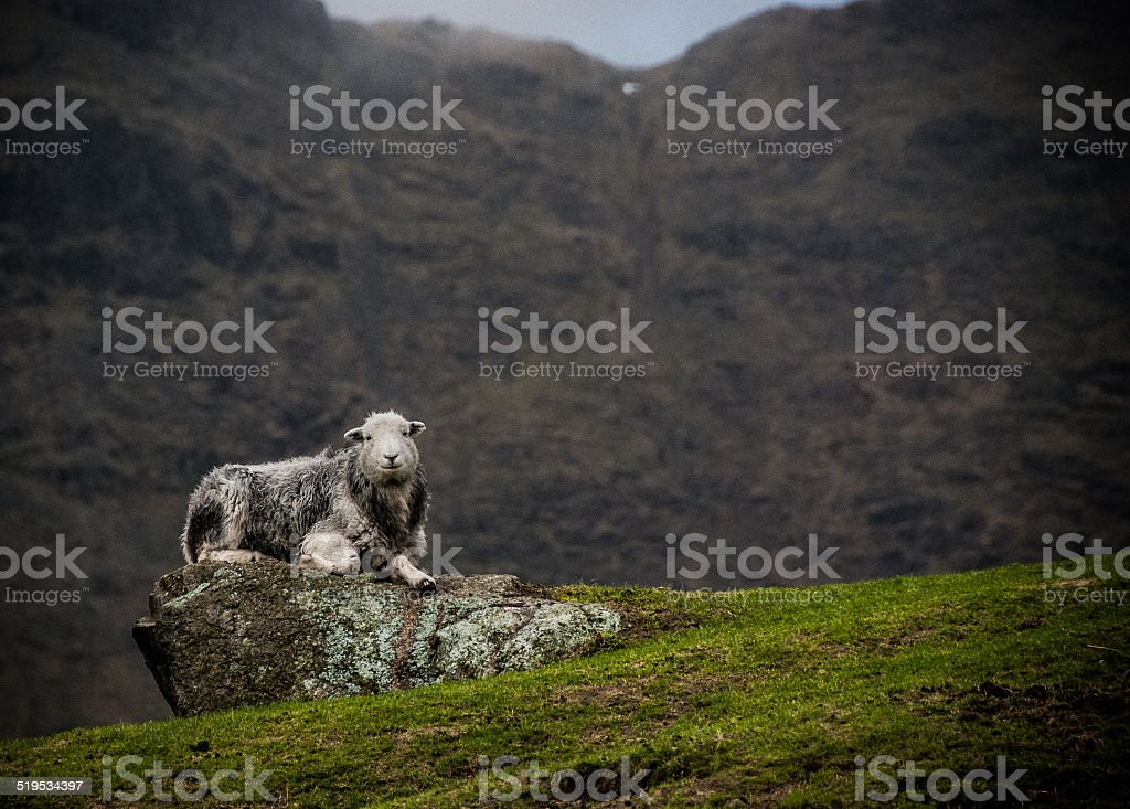 Herdwick sheep on a Cumbrian fell stock photo