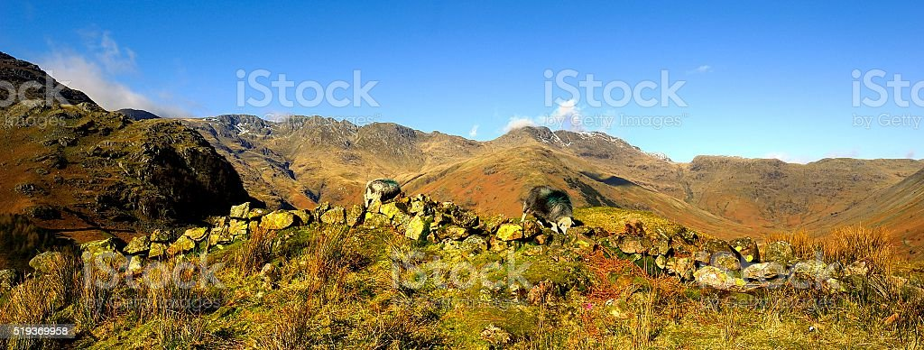 Herdwick Sheep on the fells stock photo