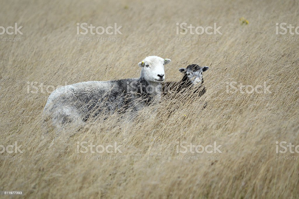 Herdwick Sheep on the South Downs stock photo