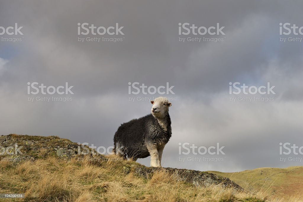 Herdwick sheep stock photo