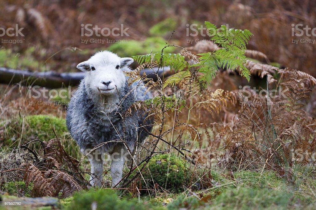 Mouton de Herdwick photo libre de droits