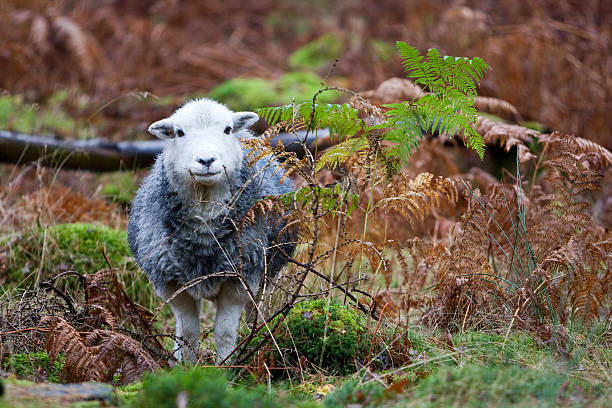 herdwick sheep - cumbria stock photos and pictures