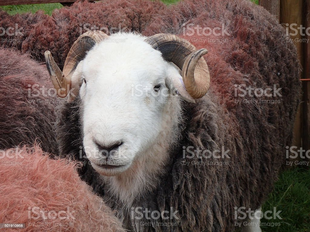 Herdwick Sheep - Tupp Ram Eskdale stock photo