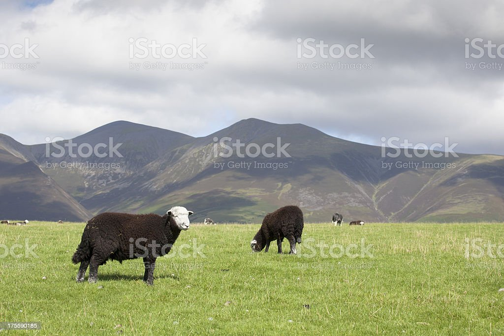 Herdwick Sheep with Scafell Pike in Background. stock photo