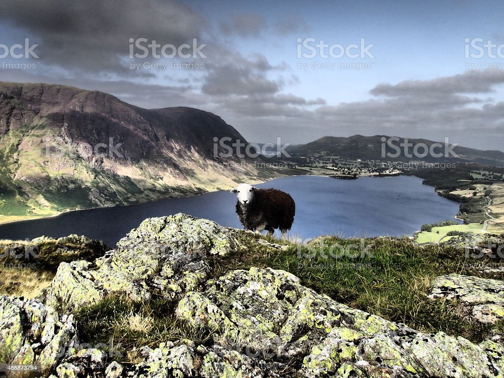 Herdy Sheep at Crummock Water & Mellbreak Fell stock photo