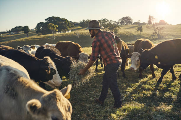 Here, boy Shot of a young farmer tending to his herd of livestock in the field rancher stock pictures, royalty-free photos & images