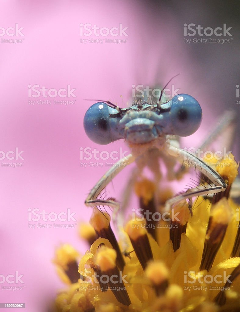 Here is a dragon fly on a flower. royalty-free stock photo