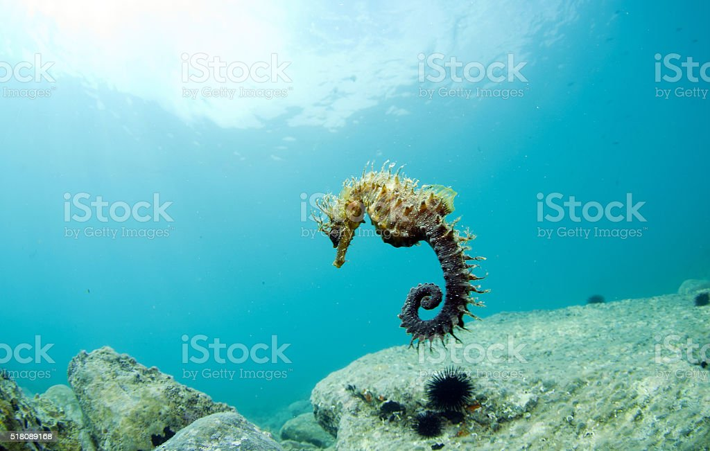 Here it is where you hide the seahorse stock photo