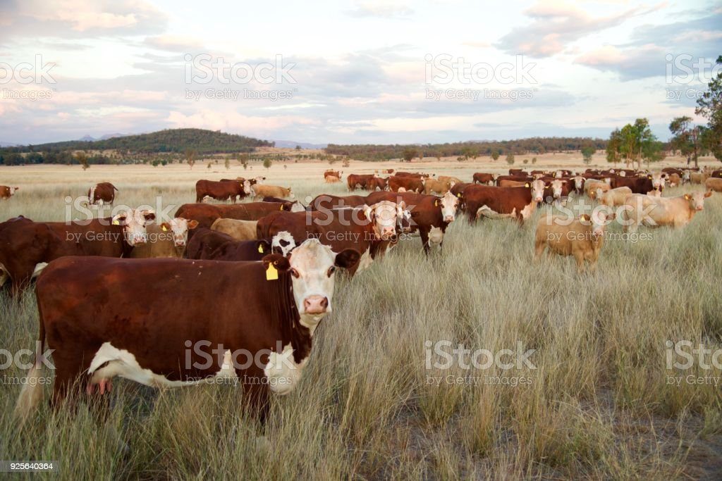 Hereford Beef cattle grass fed stock photo