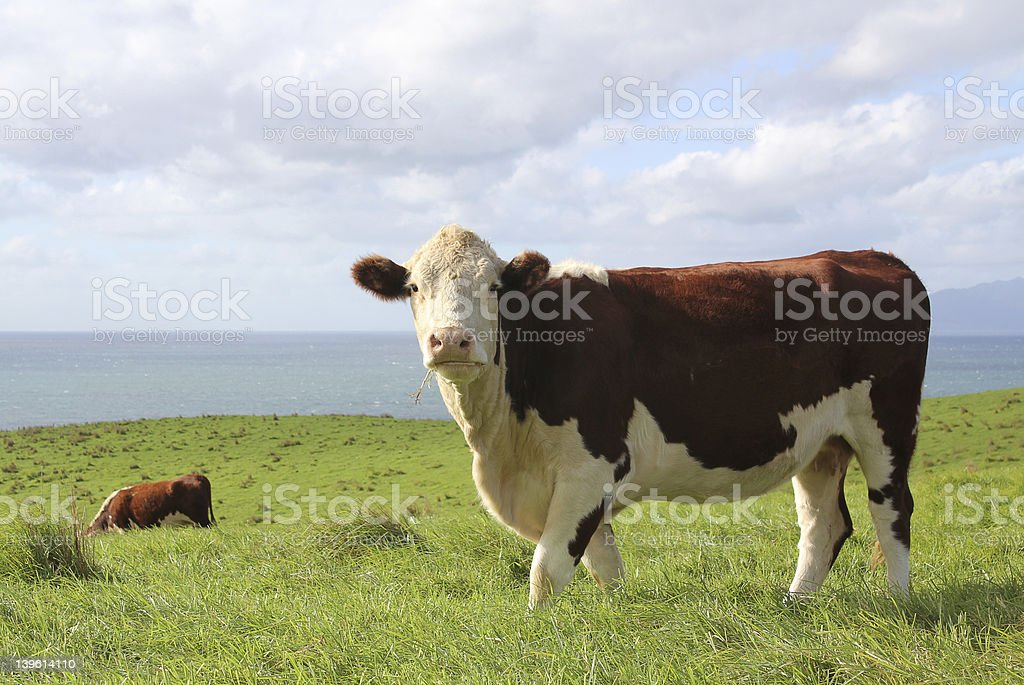 Hereford Beef Cow royalty-free stock photo