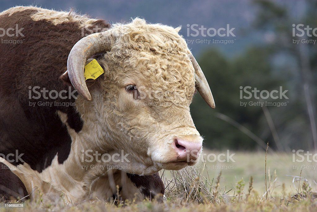 Hereford bull. royalty-free stock photo
