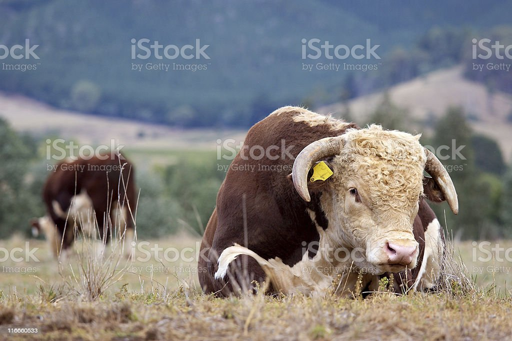 Hereford bull. stock photo