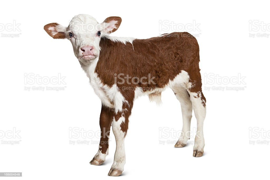 Hereford Calf on White Background Looking at Camera. stock photo