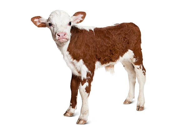 Hereford Calf on White Background Looking at Camera.  calf stock pictures, royalty-free photos & images